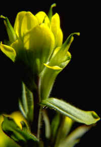 Typical Castilleja kraliana, with entire bracts.