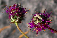 Short, compact flower spikes of Dalea cahaba
