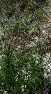 Dalea tenuis, Irion County, Texas, showing comparatively erect habit and long peduncles.