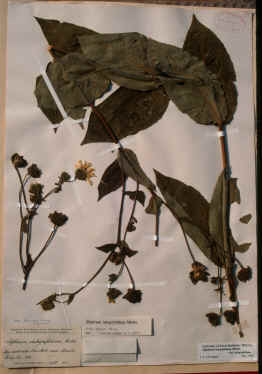 The 19th century collection of Silphium perplexum from Perry County, Alabama that I photographed at Harvard University's Gray herbarium.