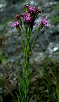 Liatris oligocephala with about the maximum number of heads (10) in an inflorescence!