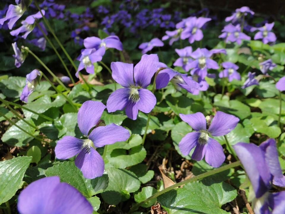 Viola sororia Wi...V Is For Violet