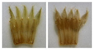 Dissected, spread Onosmodium corollas. Left: O. virginianum (Stephens County, Georgia), with narrower, more strongly acute corolla lobes and shorter filaments. Right: O. decipiens, with broader, less acute corolla lobes and longer filaments