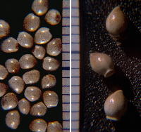 Nutlets of Onosmodium decipiens (left, from Bib County, Alabama) and O. molle ssp. hispidissimum (right, from Marion County, Tennessee). Both photographed with scale in millimeters to facilitate equal scaling of images