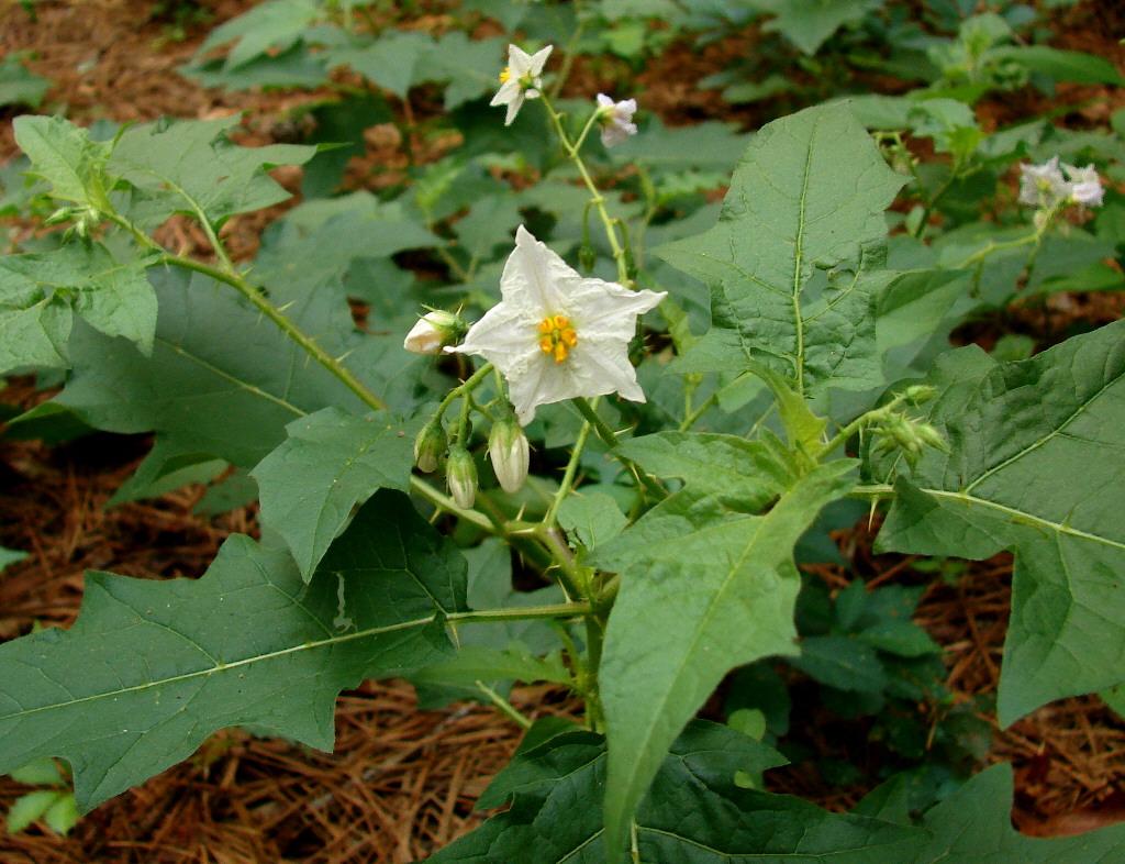 New York Metropolitan Flora: Solanum carolinense: Carolina Horsenettle