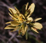 The rare yellow-flowered form of Castilleja coccinea (Izard County, Arkansas)